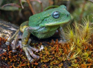 A species of marsupial frog that was discovered recently by researchers during a study in the moorland and humid forest in the Cordillera de Colan sanctuary, a protected area of the Amazon region