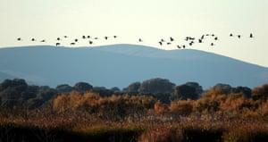 A flock of cranes over Las Tablas de Daimiel nature reserve in Ciudad Real, Spain