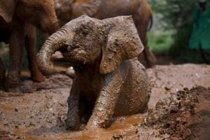 Maarifa, a baby elephant, gets muddy at Sheldrick Wildlife Trust in Nairobi, Kenya