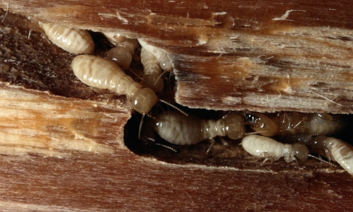 A Giant Crawling Brain The Jaw Dropping World Of Termites Insects The Guardian