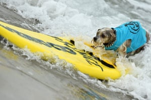 One of the surf dogs in action