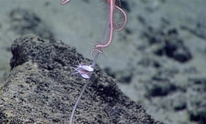 A pair of commensal amphipods living on a sponge stalk. There is also a commensal ophiuroid at the top of the photo.