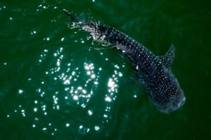 A whale shark (rhincodon typus) swims in the Sea of Cortez at Bahia de los Angeles, Mexico. The whale shark sighting season is from July to November