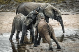 A wild forest elephant and calves bathe in the marshes of in Bayanga Equatorial Forest