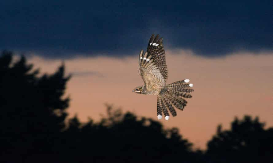male nightjar in display flight.