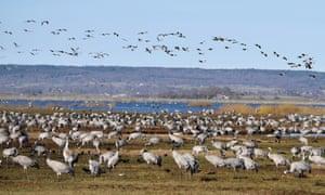 Thousands of cranes gather beside Lake Hornborga on migration