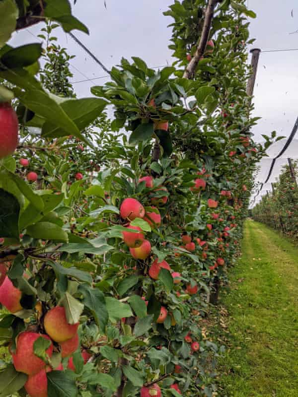 Kanzi apples growing at Sanders Apples in the Yarra Valley, Victoria