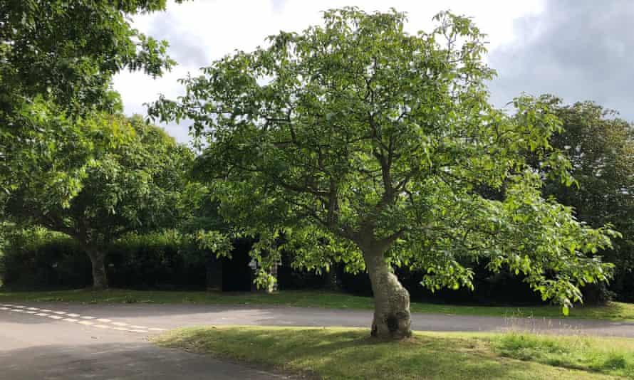 The dancing walnut on Bossington Green.