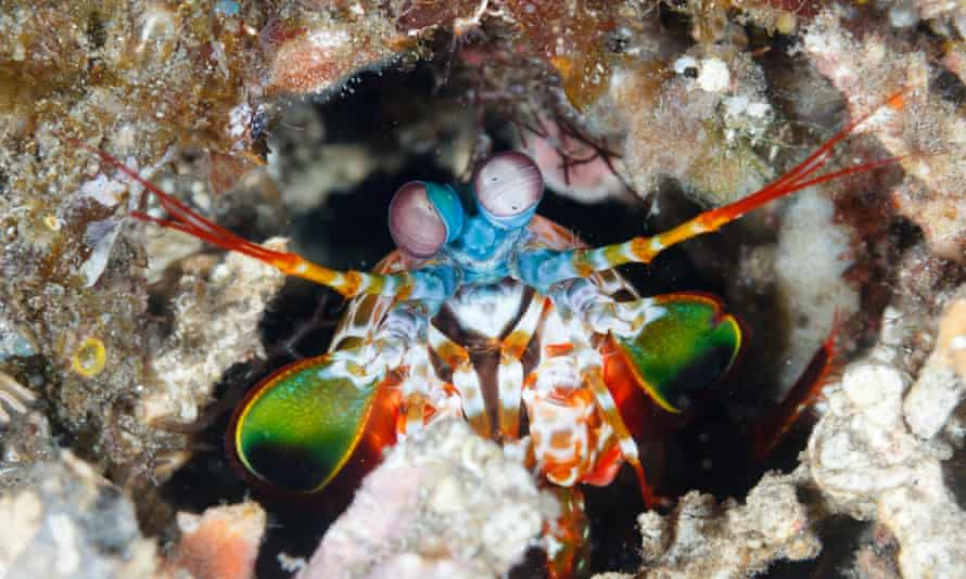 Dumaguete, Philippines. A peacock mantis shrimp looks out from its burrow.