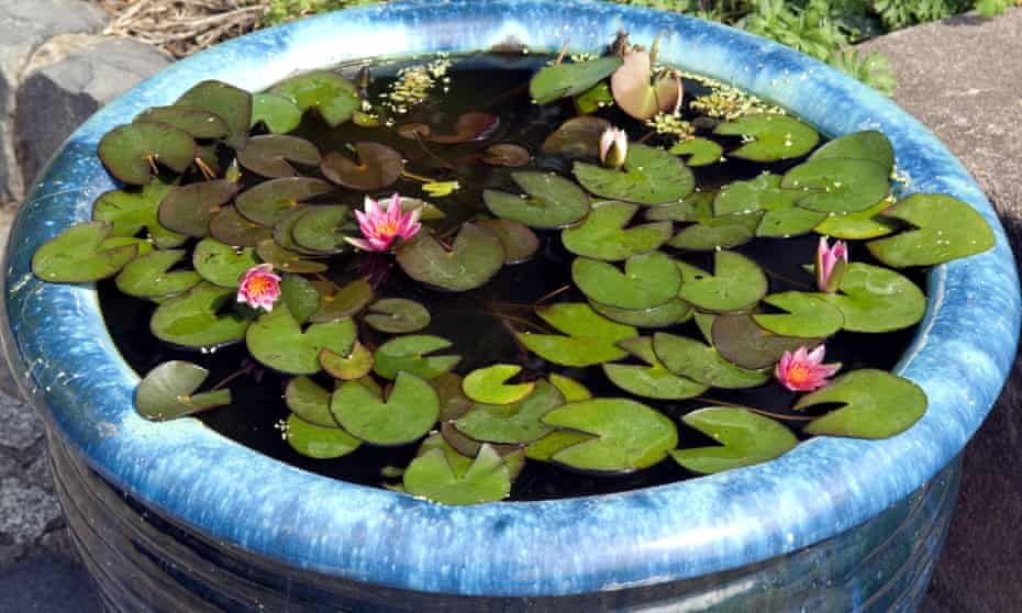 Water works: lilies floating in a mini pond.