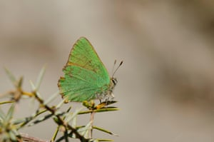Green hairstreak butterfly, Andalusia, Spain
