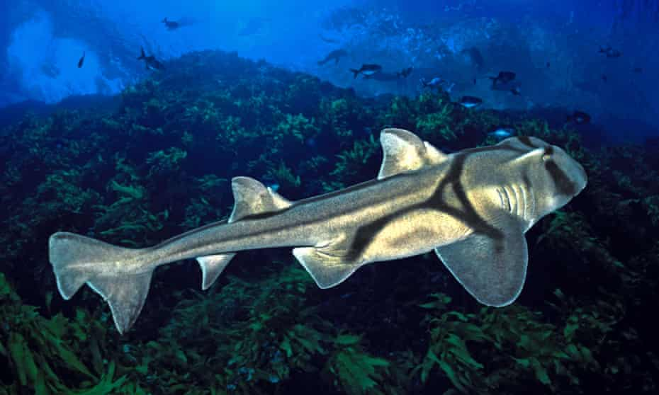 A Port Jackson shark, the kind used in the jazz study.
