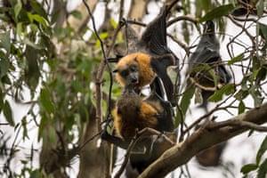 Grey-headed flying foxes socialise at Melbourne's Yarra Bend park.