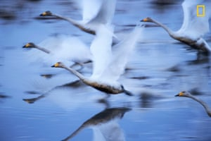 Swans take off
