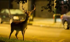 A fallow buck in an urban environment.