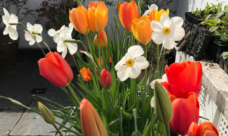 Future perfect: tubs of colourful tulips and narcissi on the roof terrace.