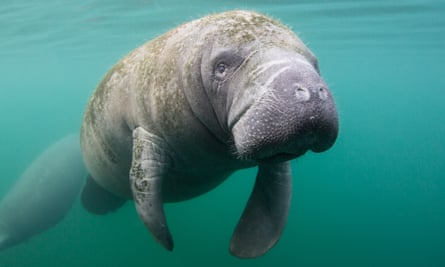 A manatee swims just below the surface in Crystal River, Florida, where 'unguided boaters and swimmers have had a detrimental effect on the environment.'