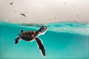A green sea turtle hatchling cautiously surfaces for air, to a sky full of hungry birds, Heron Island, Australia. The photograph won Young Ocean Photographer of the Year