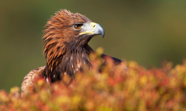 Handmade nest lures golden eagles back to Highlands estate