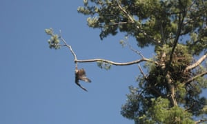 Sharpshooter Jason Galvin freed the bald eagle that was trapped in a tree by firing 150 shots at the piece of rope that it had become tangled in.