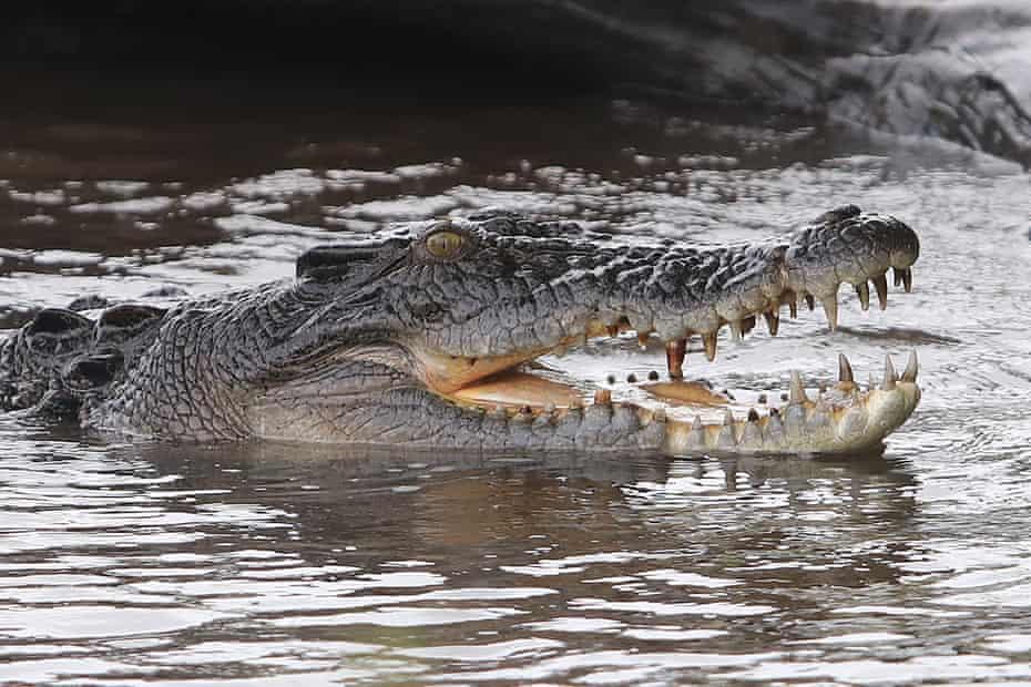 A saltwater crocodile in the Cooinda wetlands