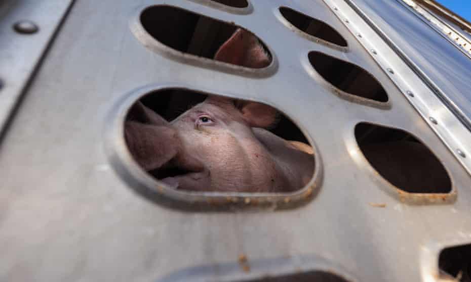 Unpardonable behaviour towards animals ... a pig en route to slaughter.