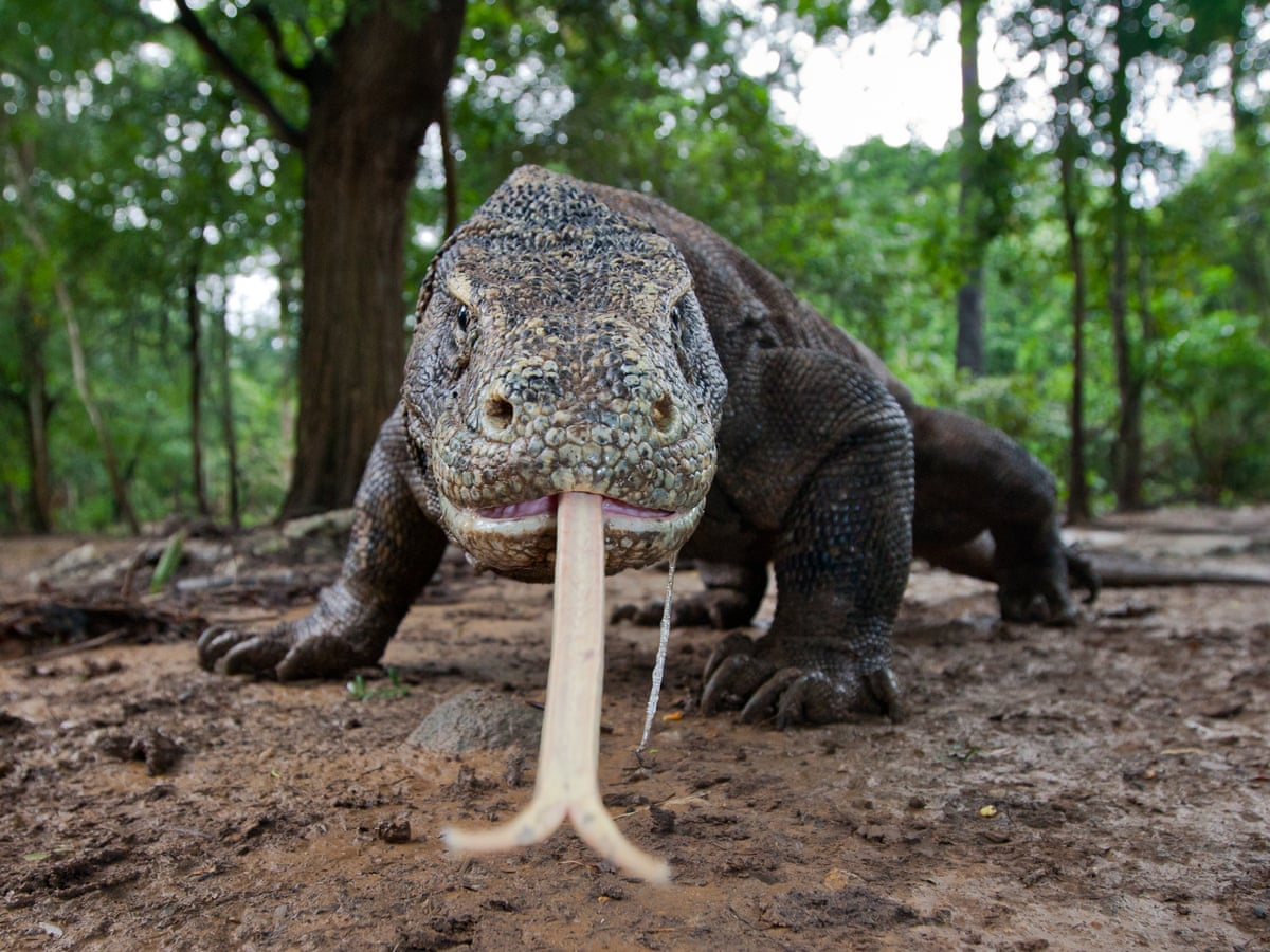Here Be Dragons The Million Year Journey Of The Komodo Dragon Science The Guardian