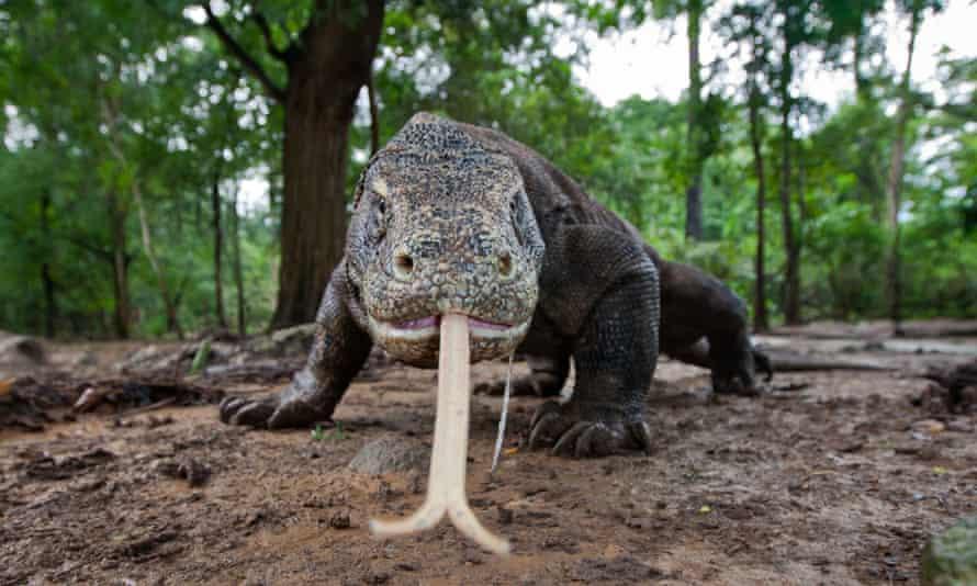A menacing Komodo dragon tastes the air in Komodo National Park, Indonesia.