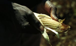 A Zambian farmer examines his maize, a crop that is adversely affected by climate change.