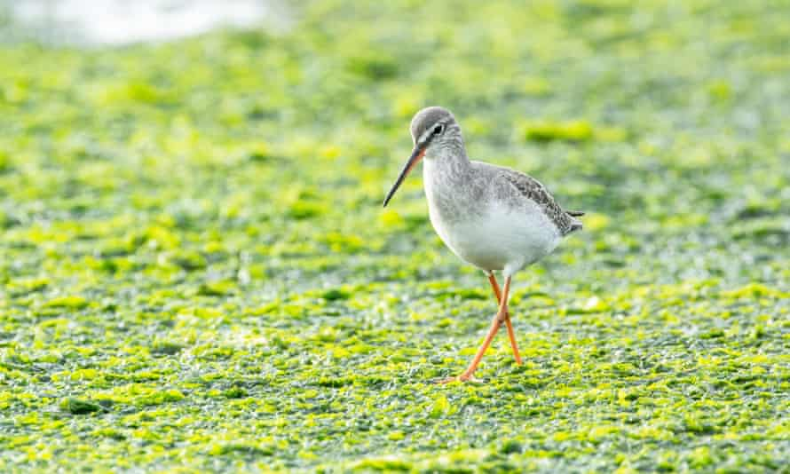 A spotted redshank (Tringa erythropus) foraging on mudflats at low tide