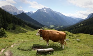 a cow near one of the Kaser dairy huts in Berchtesgaden