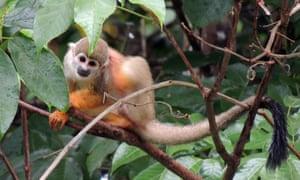 An endangered black squirrel monkey