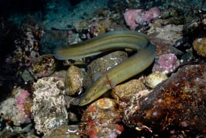 The European eel is declining due to disease, overfishing and changes to its freshwater habitat that impede its migration to the sea to breed.