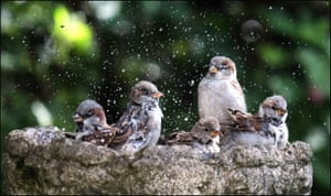 House sparrows enjoying a birdbath