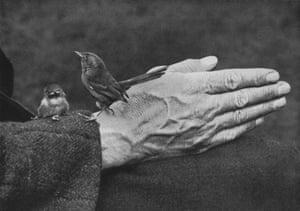Dartford Warbler and chick on Richard Kearton's hand