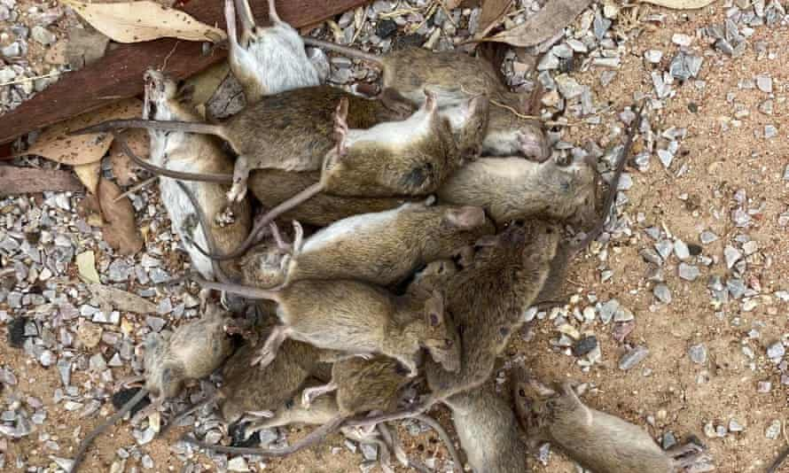 One mouse bait has captured multiple mice.
