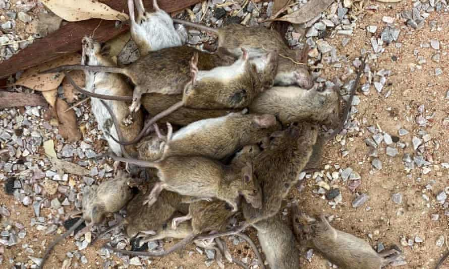 Mice killed by a bait in Coonamble, central-western NSW. The state government has requested urgent approval for the poison bromadiolon to be used widely on agricultural land to fight the mouse plague.