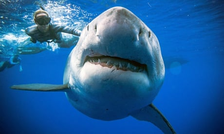 Why didn't the divers in the photos get eaten by the great white shark?