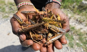 A local tour guide holds a handful of dead desert locusts after an invasion in Shaba national reserve in Isiolo, northern Kenya