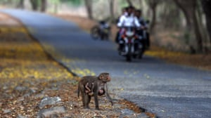 A monkey crosses a road as motorists travel along it inside the Sanjay Gandhi National Park in Mumbai.