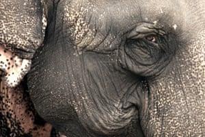 Elephant, Jim Corbett National Park, India.
