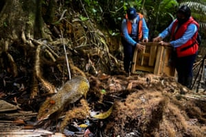 Biologists of the regional environmental entity CVC, release two Central American agoutis during national biodiversity day in Colombia
