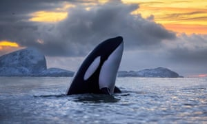 An orca surfaces at sunset off the coast of northern Norway.