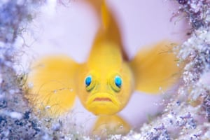 On the sandy seabed off the coast of Mabini in the Philippines, a yellow pygmy goby guards its home – a discarded glass bottl