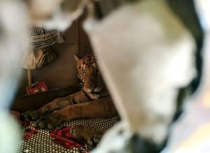 A tiger sheltering in a shop in Assam, India