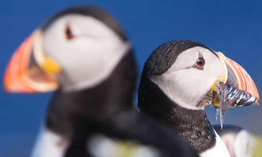 Two puffin, one with a bill full of fish