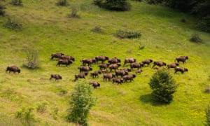Herd of bison.