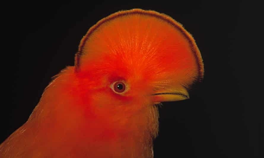 The Andean cock-of-the-rock (Rupicola peruviana) male portrait showing typical crest. This species is largely found in cloud forests.