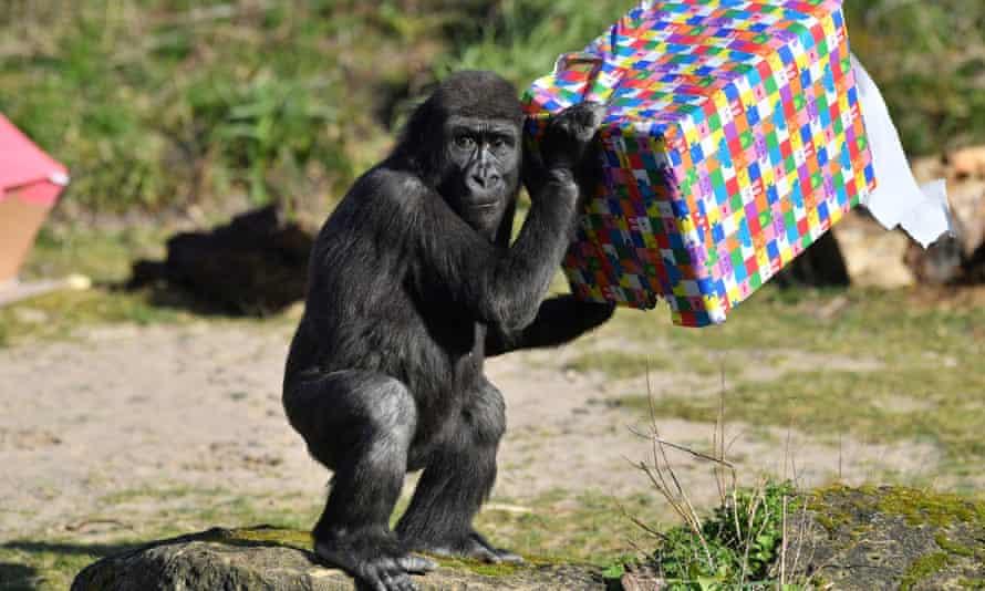 Afia the gorilla celebrates her fourth birthday at Bristol Zoo Gardens in February