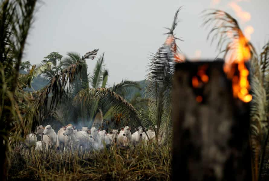 Cattle are seen amid smoke from a burning tract of Amazon jungle cleared by loggers and farmers in Apui, Amazonas state, Brazil